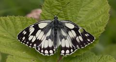 Marbled White (Alan-Taylor) Tags: butterfly marbledwhite yorkshirewildlifetrust ywt brockadalenaturereserve