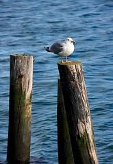 Surveyor (Karen_Chappell) Tags: ocean wood blue bird water newfoundland post harbour seagull gull stjohns atlantic piling nfld