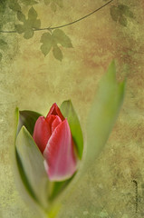 (Fahad Al-Robah) Tags: flower virgin tulip syria betrayal