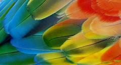 cores do Brasil (Jakza) Tags: cores penas arara nanaturezainnature macro frenteafrente monthly beanstalk climboff gamesweep factoryunanimous