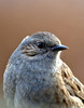 Dunnock (Mr Grimesdale) Tags: dunnock gardenbirds hedgesparrow britishbirds stevewallace mrgrimesdale