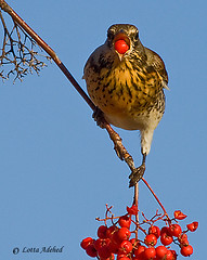 Fieldfare swallowing (Lotta Adehed) Tags: sky bird berry berries sweden himmel sverige lotta dalarna br fieldfare fgel rttvik bjrktrast rowanberry rnnbr supershot flickrdiamond adehed lottaadehed dblringexcellence rememberthatmomentlevel1 rememberthatmomentlevel2