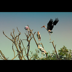 Painted stork returns home! (VinothChandar) Tags: tree bird home nature canon photography fly photo wings photos pics painted air flight picture chennai stork tamilnadu bif vedanthangal
