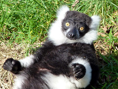 Black and White Ruffed lemur at Manor House Wildlife Park, Pembrokeshire (ZeeTee91) Tags: blackandwhiteruffedlemur manorhousewildlifepark manorhousewildlifeparkpembrokeshire