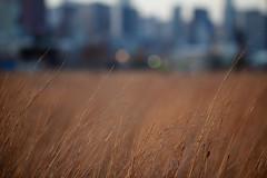 Above the Plains (Philocycler) Tags: chicago grass skyline bokeh chicagoist chicagolakefront northerlyisland bokehskyline abovetheplains