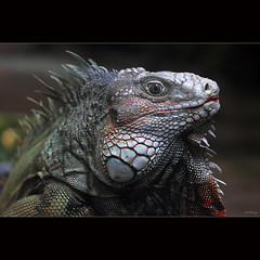 Silver Iguana (-clicking-) Tags: lighting light nature animals silver relax natural reptile wildlife details relaxing sunbath lizard iguana ugly bestcapturesaoi hennysanimals silveriguana loibst conc