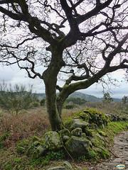 Subida a O Facho-Un árbol (juantiagues) Tags: pontevedra cangas donón ofacho juanmejuto juantiagués