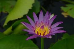 Perfect Purple Petals (Keith Mac Uidhir  (Thanks for 3m views)) Tags: asia asien tailandia thalande lan asie tp aasia asya  azia azi tailndia  sia thi      chu  thajsko tajlandia     thaifld   zsia   banguecoque     taland