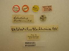 Coleotichus blackburniae White,1881 Holotype [labels] (Perth Museum and Art Gallery) Tags: hawaii insecta hemiptera scutelleridae pentatomoidea elvisurinae francisbuchananwhite taxonomy:binomial=coleotichusblackburniae