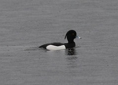 Tufted duck (richardblackburn1974) Tags: bird duck loch tufted kinnordy
