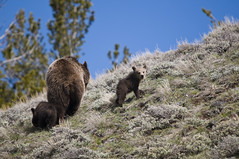 Looking Back (OFF2YNP) Tags: bear blue wild brown mountains animal cub wildlife hill grand yellowstone cubs grizzly tetons sow