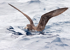 Flesh-footed Shearwater (boombana) Tags: sydney shearwater 2012 pelagic fleshfootedshearwater ardennacarneipes ardenna sydneypelagic
