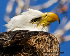 Bald Eagle (Tiger Imagery) Tags: nature illinois nikon wildlife eagles raptors birdsofprey baldeagles baldies americanbaldeagles largebirds quincyil nikond7000