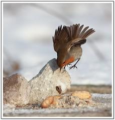 Robin redbreast  - Rotkehlchen (Erithacus rube...