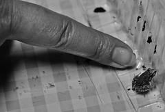 Ranunghietta (Francesco Lo Presti) Tags: mano rana sicilia dito girino unghia rospo creatura