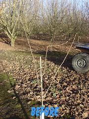 3114 filbert pruning (growing hazelnuts) Tags: pruning filberts