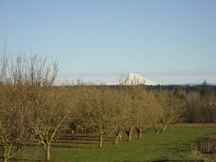0050 filbert orchard (growing hazelnuts) Tags: orchard filbert