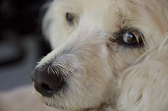 Madonna (Felipe Glvez T.) Tags: chile dogs nikon retrato madonna perros 2012 primerplano nikond5100