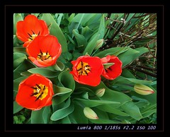 Tulpen rot crop edited (eagle1effi) Tags: city red rot zeiss germany handy lens rouge deutschland nokia photo flickr foto with tulips photos mit taken smartphone fotos carl stadt tulip f22 gps der tuebingen celly kamera tulipe tulpen tulpe tbingen tulipano tulp tubingen tulipan handykamera wrttemberg badenwuerttemberg tessar tubinga lle geomapped eagle1effi dibenga stadttbingen tbingenamneckar lumia800 nokialumia800 aufgemommen lumia800photography lumiacelly beautifulcityoftubingengermany beautifulcityoftbingengermany dibeng tubingue