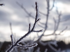 Frost_P2189307 (yukonchris) Tags: winter canada cold tree ice frost hoarfrost north yukon northern twigs whitehorse borealforest northof60 olympuse30 acdseepro5