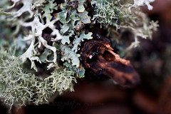 Lichens in a Pensive Mood (photos by Crow) Tags: trees macro forest canon lichen lush earthtones carolrukliss