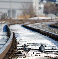 Pigeon Tracks (C-Dals) Tags: calgary birds nikon pigeon traintracks tracks alberta nikkor round18 55200mmf456gvr d5100 getpushed