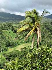 Tropical Rain Forest (saxonfenken) Tags: tree rainforest jungle tropical cocnut 7053 7053tree