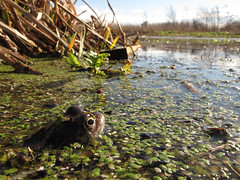 Waiting... (duckinwales (now in Ipernity)) Tags: spring amphibians rhyl duckweed ranatemporaria commonfrog canong12