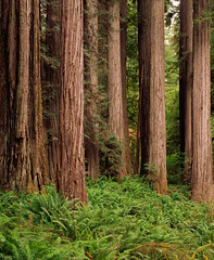 "Redwood Forest (IronRodArt - Royce Bair (""Star Shooter"")) Tags: california wood old trees green nature natural grove timber growth mature environment tall redwood redwoods ecosystem resources stately"