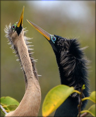 Anhinga Love (sundero) Tags: birds florida pair swamp wetlands marsh waterbirds southflorida anhinga maleandfemale wakodohatchee