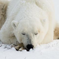 Wild Churchill (David Quiring) Tags: winter snow canada north manitoba polarbear sleepy churchill mb tundra arcticfox davidquiring wwwdavidquiringcom