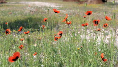 flower meadows (Marlis1) Tags: valencia spain poppies rosella marlies amapolas commonpoppy mohnblumen canoneos60d sanrafaeldelrio