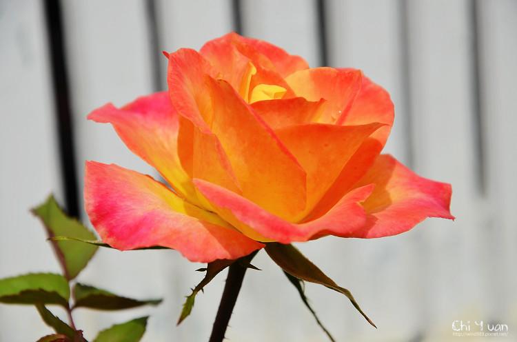 2012士林官邸玫瑰季19.jpg
