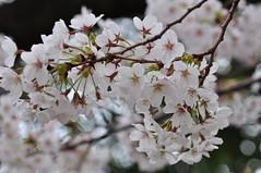Prunus x yedoensis (Masaoki Hirai) Tags: prunus cerasus rosaceae