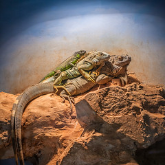 Iguana family (macropoulos) Tags: topf25 500v20f lizard greece iguana crete animalia heraklion gettyimages reptilia iguanidae chordata canoneos5d vertebrata squamata iguania canonef100mmf28macrousm nhmc 30faves30comments300views gettyimages:date_added=20131003
