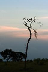Entardecer no cerrado (Johnny Photofucker) Tags: cerrado bomdespacho bd árvore albero albor tree bird pássaro passarinho ave uccello entarder mg backlighting contraluz silhueta silhouette