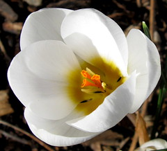 Snow White (Puzzler4879) Tags: flowers macro brooklyn ngc crocus bbg brooklynbotanicgarden pointshoot publicgardens botanicgardens canonpowershot whiteflowers whitecrocus canondigital canonaseries floralfantasy canonphotography crocusmacro wonderfulphotos macromania perfectpetals canonpointshoot flickraward a580 wwof wonderfulworldofflowers canona580 canonpowershota580 powershota580 awesomeblossoms amazingdetails unforgettableflowers handselectedphotographs universeofnature naturewithallitswonders mygearandme mygearandmepremium mygearandmebronze mygearandmesilver mygearandmegold mygearandmeplatinum mygearandmediamond silveramazingdetails goldamazingdetails naturespotofgoldlevel1 level1photographyforrecreation redgroupno1 yellowgroupno2 bluegroupno4 whitegroupno5 greengroupno3 blackgroupno6 contest112uf