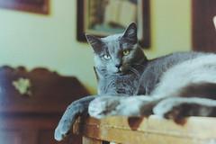 Don't Disturb. (Halloground) Tags: pet cat canonae1 creamy gatta analogico pelicola halloground