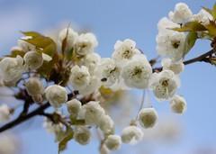 in Just- spring (kmam) Tags: park sky flower tree scotland spring afternoon blossoms glen april rouken