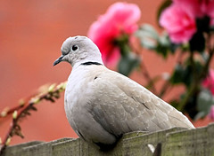 Collared Dove and Gardinia Bokeh (Judy's Wildlife Garden) Tags: coloureddove judykennett knightonpowys gardiniabokeh