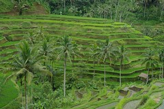 Terraces (Keith Mac Uidhir  (Thanks for 4m views)) Tags: trees bali food brown plant tree green nature field grass forest indonesia asian island asia asien rice natural paddy terrace farm south farming grain palm east jungle asie agriculture ricefield tp indonesian aasia asya  indonesi indonesien ubud balinese azia azi  sia indonsia  indonsie    chu indonezja      endonezya   zsia  indonesya  indonzia indonezia     indunisia