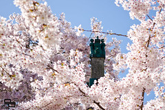 Castle in the Spring Sky (Daryl_Porter) Tags: nottingham pink flowers tree castle cherry hall spring university blossom