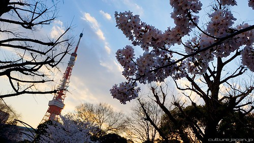 Japan Cherry Blossom Photos