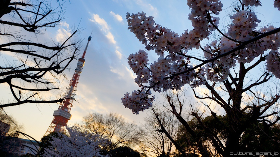 Фото цветов вишни