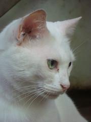 Hackeshi (lolifabi) Tags: cats cat gatos gato whitecat gatobranco