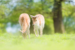 'Everything's Gone Green' (Jonathan Casey) Tags: park nottingham nikon deer f2 fallow vr wollaton 200mm d810