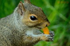 Squirrel at Cabot Tower (Javier Quesada Molina) Tags: park parque hairy eye grass animal bristol outside ojo corn squirrel lawn nibble puffs ardilla comiendo cesped peludo gusanito masticando