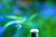 dreams (nelescholten) Tags: blue two flower macro nature garden spring bokeh dandelion dreamy