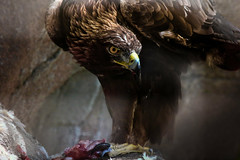 Golden Eagle and the feast (kmanflickr) Tags: golden eagle captivity