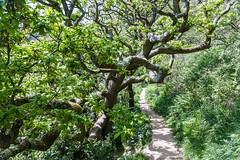 Warren Glen, Hastings Country Park (ghostwheel_in_shadow) Tags: england tree sussex oak flora europe unitedkingdom hastings deciduous eastsussex broadleaf hastingscountrypark warrenglen englandandwales